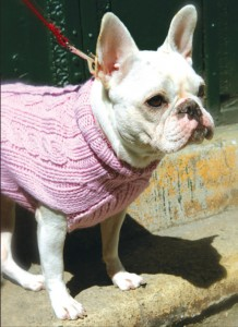Lulu, a French bulldog owned by Corcoran agents Christina Abad and Michael Hearne
