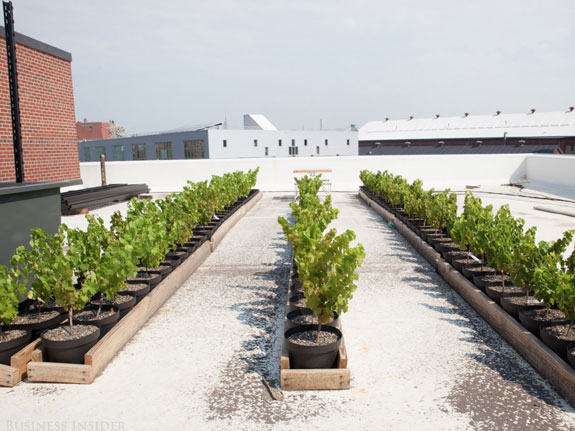 having-just-signed-the-official-lease-for-the-rooftop-space-and-finished-the-planting-of-the-vines-shomaker-hopes-to-open-rooftop-reds-by-mid-to-late-september
