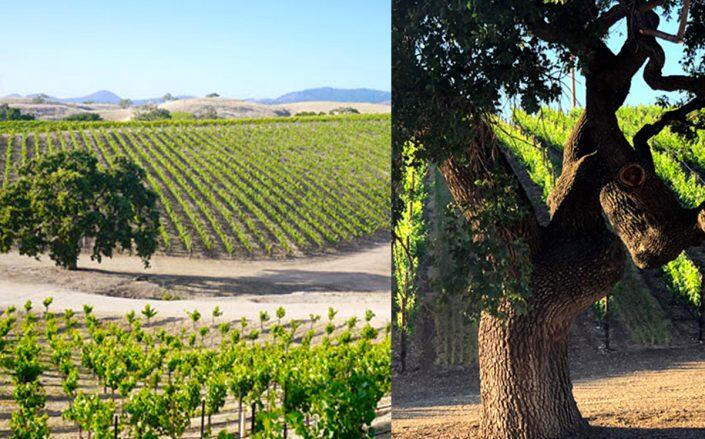 A 60-acre working vineyard in California's Santa Ynez Valley hits the market